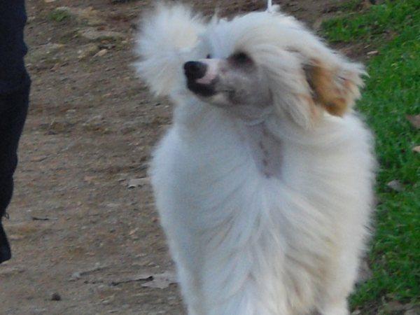 """HOMER DE ELDACAN """" BOLT""""(propiedad de Jenny) concurso de Sta. perpetua, MB1º clase puppy,2º en la best in show."""