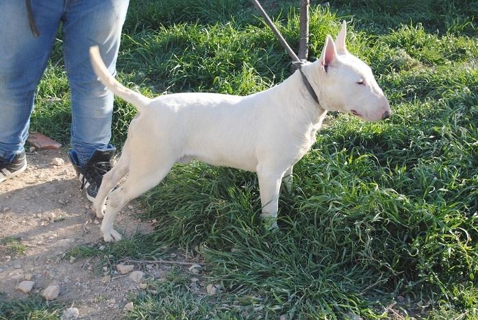 ALAN DE ELDACAN, bull terrier miniatura,VILLA BORDERBULL TITAN X  CH DEBULLY LOVE ME LACOBA